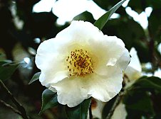 Camellias in old English Gardens